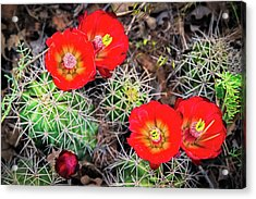 Cactus Bloom Acrylic Print by Edgars Erglis