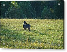 Cades Doe Acrylic Print by Laurie Perry