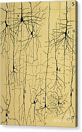 Cajal Drawing Of Microscopic Structure Of The Brain 1904 Acrylic Print by Science Source
