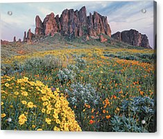 Aster Acrylic Print featuring the photograph California Brittlebush Lost Dutchman by Tim Fitzharris