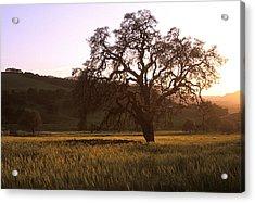 California Hwy 25 Oak Acrylic Print by Kathy Yates
