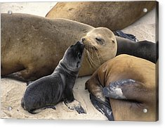 California Sea Lion And Newborn Pup San Acrylic Print by Suzi Eszterhas