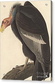 Californian Vulture Acrylic Print by John James Audubon