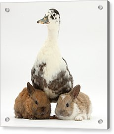 Call Duck And Baby Netherland Acrylic Print by Mark Taylor