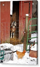 Can I Come Out Yet Acrylic Print by Laura Mountainspring
