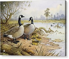 Canada Geese Acrylic Print by Carl Donner