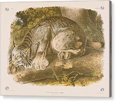 Canada Lynx Acrylic Print by John James Audubon