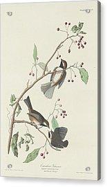 Canadian Titmouse Acrylic Print by John James Audubon
