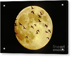 Canda Geese And Moon Acrylic Print by Kenneth Fink and Photo Researchers