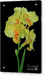 Canna Lily Be So Pretty? Acrylic Print by Kaye Menner
