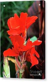 Canna Lily 'lucifer' Acrylic Print by Adrian Thomas