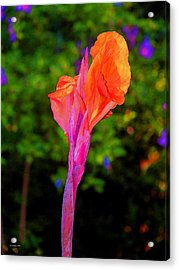 Canna Lily With Althea Acrylic Print by Fred Jinkins