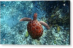 Caribbean Blue_14 Acrylic Print by Wendy White