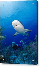Caribbean Reef Shark Acrylic Print by Dave Fleetham - Printscapes