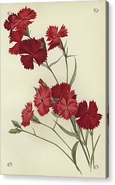 Carnations Acrylic Print by English School