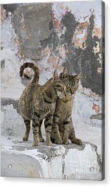 Cat And Her Kitten Acrylic Print by Jean-Louis Klein & Marie-Luce Hubert
