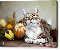 Cat And Pumpkins Acrylic Print by Nailia Schwarz