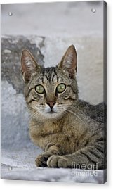 Cat Portrait, Greece Acrylic Print by Jean-Louis Klein & Marie-Luce Hubert