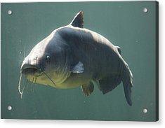 Catfish Acrylic Print by Jonathan Kotinek