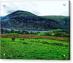 Cattle Grazing At Buttermere Acrylic Print by Joan-Violet Stretch