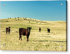 Cattle Grazing On The Plains Acrylic Print by Todd Klassy