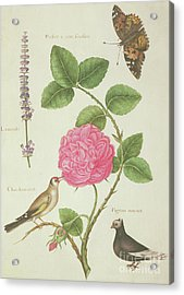 Centifolia Rose, Lavender, Tortoiseshell Butterfly, Goldfinch And Crested Pigeon Acrylic Print by Nicolas Robert