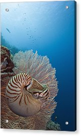 Chambered Nautilus Acrylic Print by Dave Fleetham - Printscapes