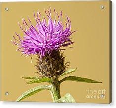 Charming Cornflower Acrylic Print by Donald Davis