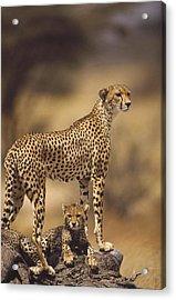 Cheetah Acinonyx Jubatus Mother With Acrylic Print by Gerry Ellis
