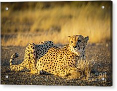 Cheetah Portrait Acrylic Print by Inge Johnsson