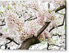 Cherry Blossom Acrylic Print by Sky Noir Photography by Bill Dickinson
