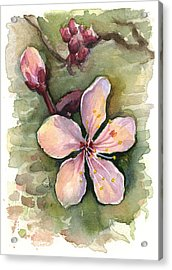 Cherry Blossom Watercolor Acrylic Print by Olga Shvartsur