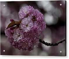 Cherry Blossoms 2 Acrylic Print by Robert Ullmann