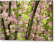 Cherry Blossoms In Spring, Milan, Italy Acrylic Print by Julia Hiebaum