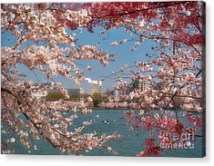 Cherry Blossoms On The Edge Of The Tidal Basin Three Acrylic Print by Susan Isakson
