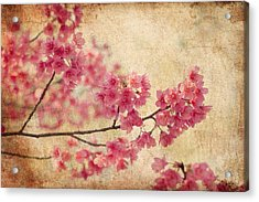 Cherry Blossoms Acrylic Print by Rich Leighton