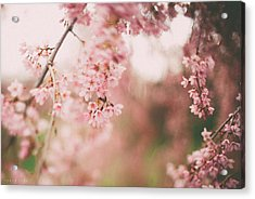 Cherry Blossoms Acrylic Print by Tracy  Jade