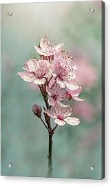 Cherry Clouds Acrylic Print by Jacky Parker