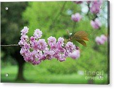 Cherry Kanzan Blossom Acrylic Print by Tim Gainey