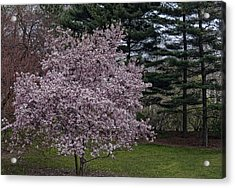 Cherry Tree And Blossoms Acrylic Print by Robert Ullmann