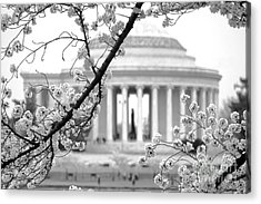 Cherry Tree And Jefferson Memorial Elegance  Acrylic Print by Olivier Le Queinec