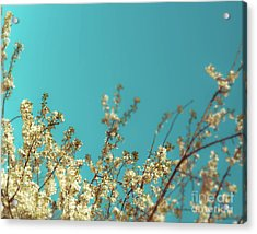 Cherry Tree Blossoms Acrylic Print by Sonja Quintero