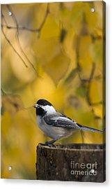 Chickadee On A Log Acrylic Print by Tim Grams