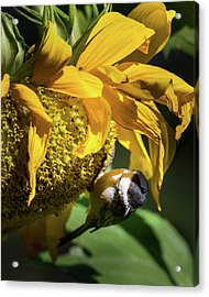 Chickadee Sunflower Acrylic Print by Bill Wakeley