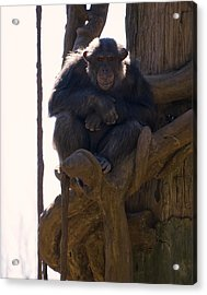 Chimpanzee In A Tree Acrylic Print by Chris Flees
