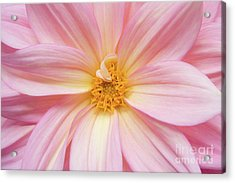 Chinese Chrysanthemum Flower Acrylic Print by Julia Hiebaum