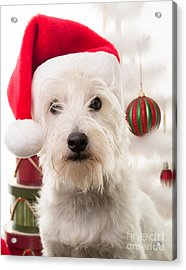 Christmas Elf Dog Acrylic Print by Edward Fielding