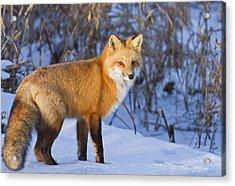 Christmas Fox Acrylic Print by Mircea Costina Photography