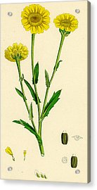 Chrysanthemum Segetum Corn Marigold Acrylic Print by Unknown