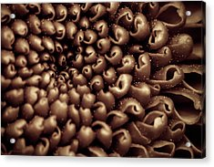 Chrysanthemum Sepia Acrylic Print by Wim Lanclus